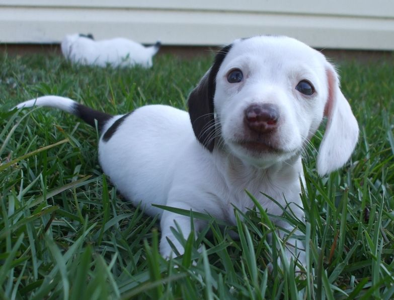 long haired dachshund puppy in white with dark spots looks so cute and adorable.JPG