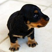 long haired dachshund puppy looks very cute.JPG