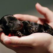 micro mini dachshund puppy in skinny black color.JPG