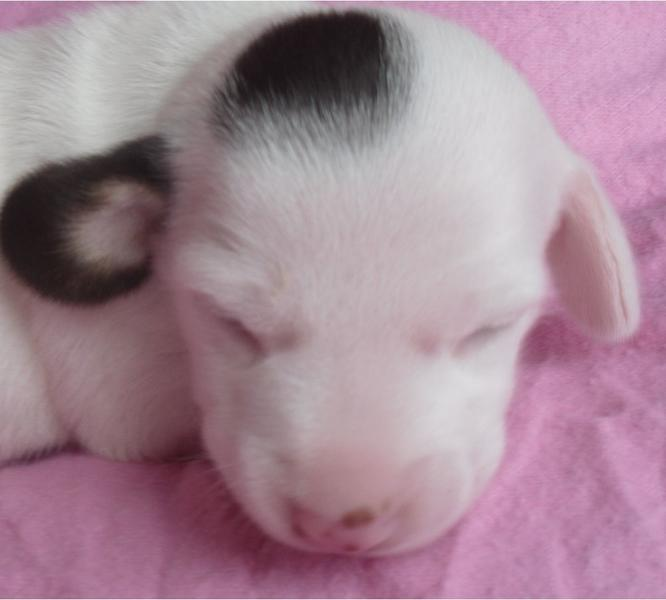 micro mini dachshund puppy in white with dark brown spots sleeping.JPG