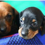 miniature dachshund puppies with two different colors.JPG