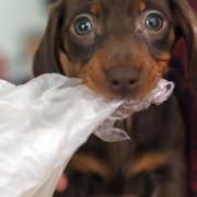 miniature dachshund puppy bitting on a plastic bag looking at the camera with its green eyes.JPG