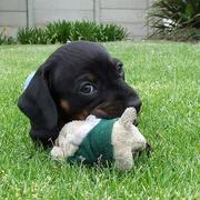 photo of dachshund puppy playing with its toy on the grass and looking at the camera.JPG