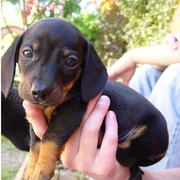 picture of dachshund puppy in tan and black looking at the camare with cute puppy face.JPG