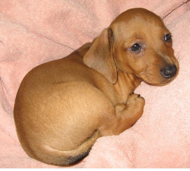 Tan Dachshund Dachshund puppy in tan