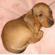 standard dachshund puppy in tan color looking so cute.JPG