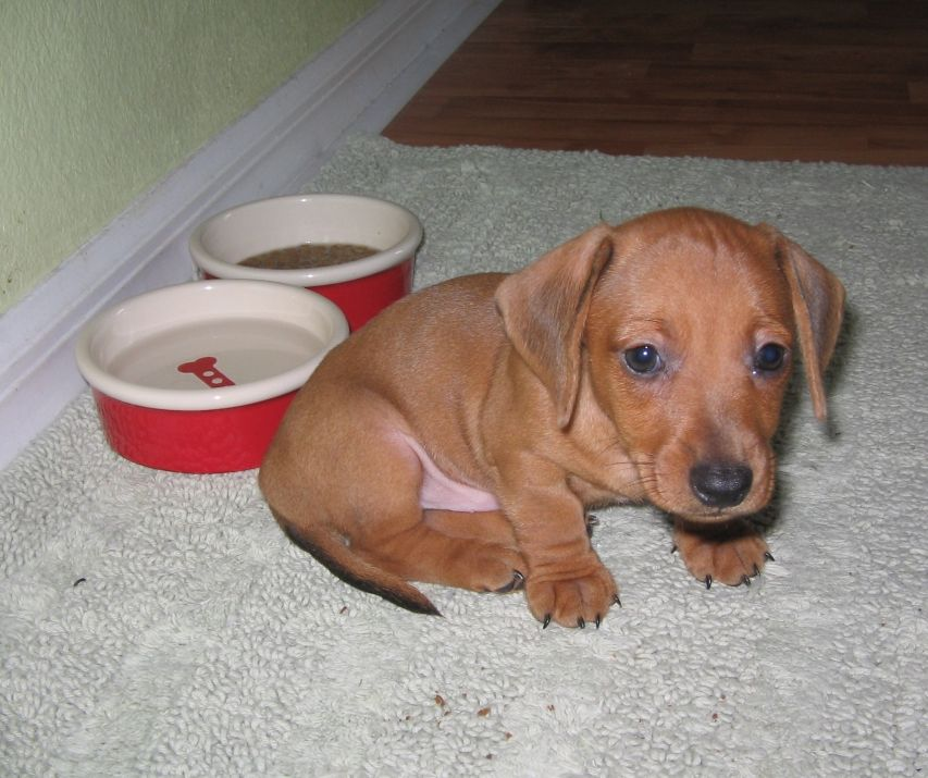 tan dachshund dog puppy.JPG