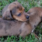 two Dachshund puppies playing with each other on the grass picture.JPG
