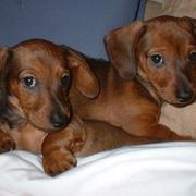 two light brown dachshund puppies image.JPG