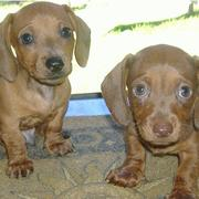 two very cute light brown dachshund puppies looking at the camera.JPG