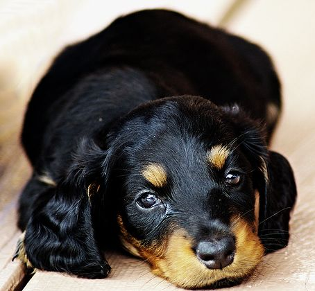 Very cute Dachshund pup in black with tan spots pictures.JPG
