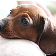 very cute Dachshund pup in tanish brown with big ears.JPG