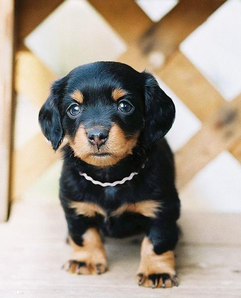 very cute dachshund puppy in black and tan looking adorable.JPG