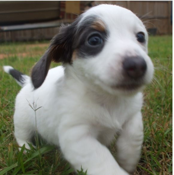 white and dark colors dachshund puppy with long hair picture running on the grass.JPG
