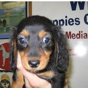 winnie puppy picture with big ears and big eyes.JPG