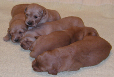 toller young puppies.JPG
