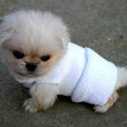 very cute small pekingse  puppy with clothing.jpg