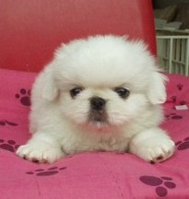 white pekingse pup with very cute face.jpg