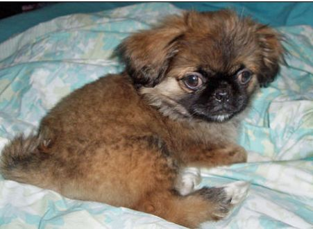 Dark tan pekingese puppy with black face on the bed pictures.JPG