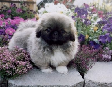 Image of a beautiful pekingese puppy in a pretty garden with image of a beautiful pekingese puppy in a pretty garden with colorful flowersg mightylinksfo