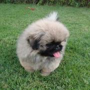image of cute puppy pekingese with long hair with its tongue sticking out.JPG