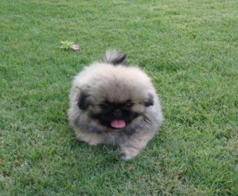 long hair and puffy pekingese pup playing in the garden.JPG
