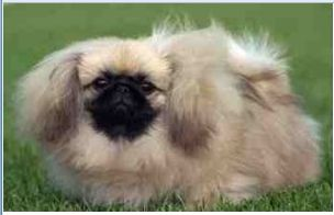 Long hair and puffy pekingese pup with dark black face pics.JPG