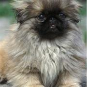long hair pekingese puppy pictures.JPG