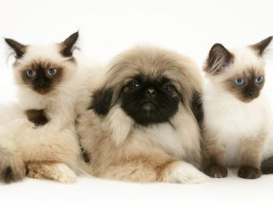 pekingese puppy with black face posting with two cats that looks like each other.JPG