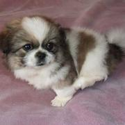 photo of cute dog pekingese puppy with three toned colors on a pink bed.JPG