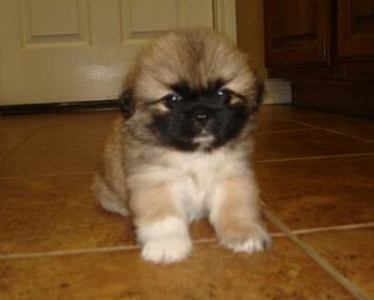 picture of pekingese dog looking so young and cute.JPG