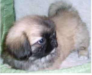 playful pekingese pup with its tail sticking in the air.JPG
