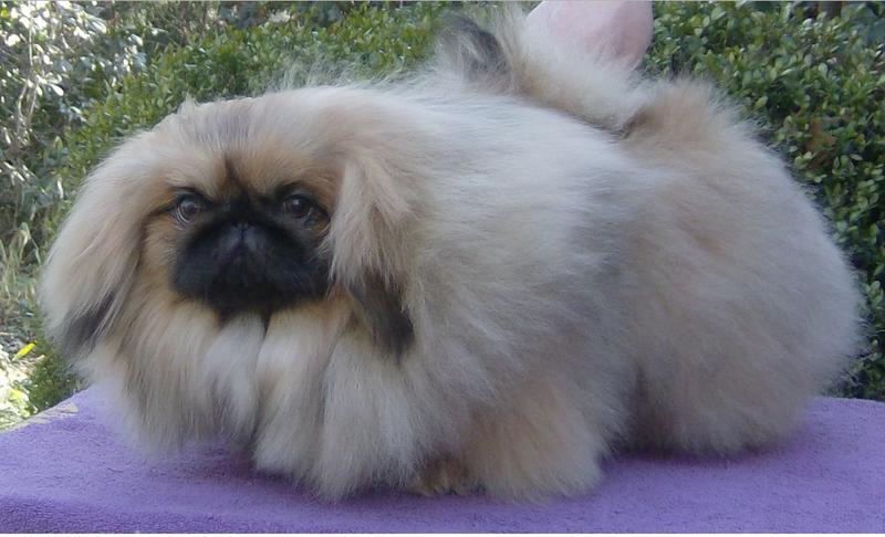 puffy beautiful pekingese puppy dog picture jpg 1  ment hi res