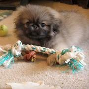 serious looking pekingese puppy with alot of its dog toys.JPG