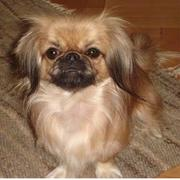 Tan pekingese pup photo.JPG