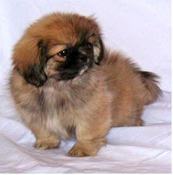 Two tones pekingese puppy in tan and black colors.JPG