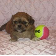 veru young pekingese puppy playing with its colorful tennis ball.JPG