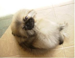 young sweet pekingese puppy looking up to the camera.JPG