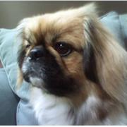 close up picture of puppy pekingese dog.JPG