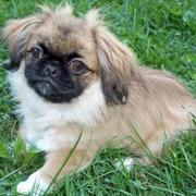 cute and adorable pekingese puppy on the grass.JPG