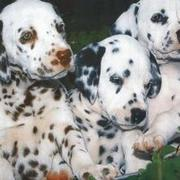dalmation puppy picture.jpg