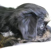 Beautiful puppy picture of a havanese pup dog in three toned colors.JPG