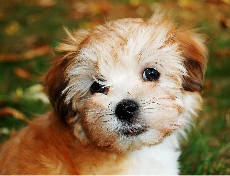 picture of havanese pu...