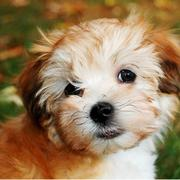 Dog face picture of havanese puppy.JPG