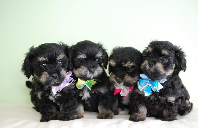 Havanese Puppies Imagesthey Look So Cute And All Dressed Upjpg Hi
