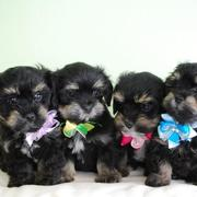 Havanese puppies images_they look so cute and all dressed up.JPG