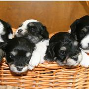 Havanese puppies in a basket_black and white dogs.JPG