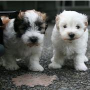 Havanese Puppies photos.JPG