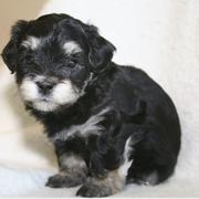 Havanese puppy in black with white dots.JPG