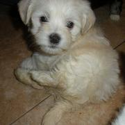 Havanese puppy in light creamy tan color.JPG